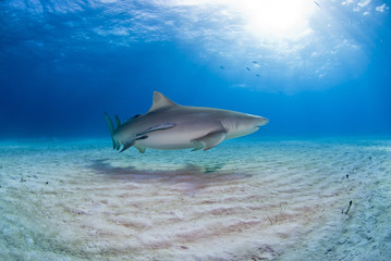 Lemon shark with remoras close to the sand in clear blue water with sun in the background