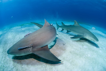 Lemon sharks close to the sand in clear blue water