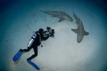 Lemon sharks with videographer / photographer in the dusk