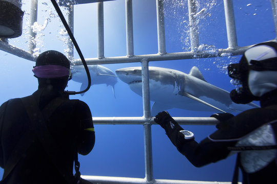 Great white sharks with scuba divers in a diving cage