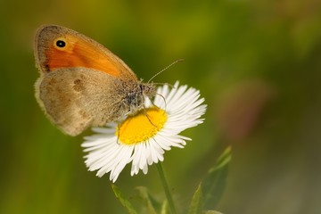 The small heath (Coenonympha pamphilus) feeding nectar. Beautiful little butterfly sitting on the white and yellow blossom.