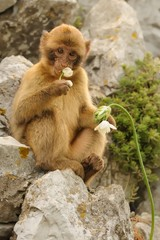 Young Barbary macaque - Macaca silvanus plucking flower