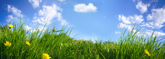 Fototapete - Juicy fresh young grass with yellow dandelions close-up on summer nature on blue sky background with clouds, panoramic viev, copy space.