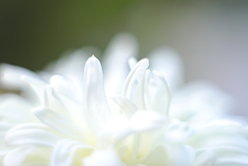 Floral background in white color. Photo blurry