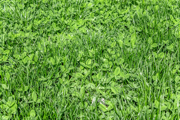 Fresh green grass clover as a background