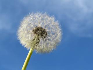 Dandelion seed head against the blue sky. Beautiful white dandelion
