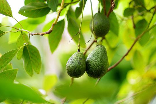 Bunch of fresh avocados ripening on an avocado tree branch in sunny garden
