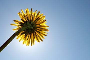 красивый желтый одуванчик на фоне солнца и неба, вид снизу