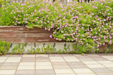 Light Pink Rose geranium or Sweet scented geranium (Pelargonium graveolens) in the garden. Citrosa geranium flowers or Prince of Orange geranium (Pelargonium citrosum) use as Mosquito Repellent Plants
