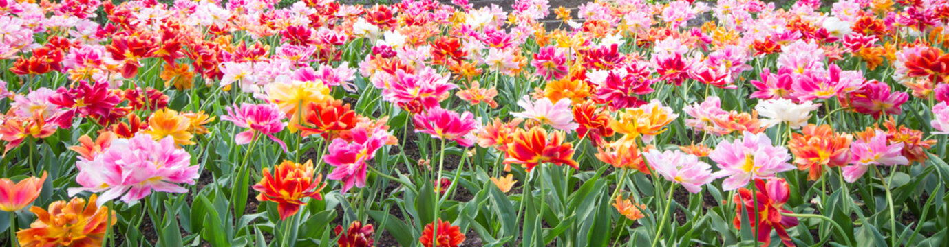 Colorful tulips park in the field, beautiful flowers bloom in spring day. Natural tulips flowers in selective focus background