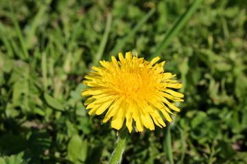 красивый желтый одуванчик на фоне зеленой травы
