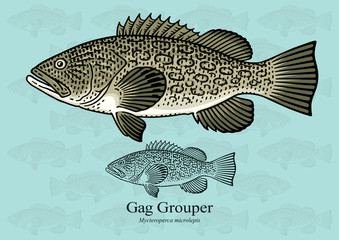 Gag Grouper. Vector illustration with refined details and optimized stroke that allows the image to be used in small sizes (in packaging design, decoration, educational graphics, etc.)