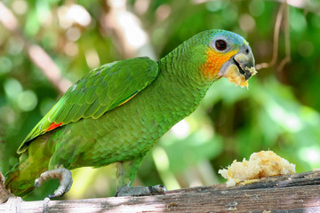 Wall Mural - Orange-winged amazon parrot