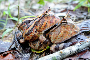 Surinam horned frogs mating
