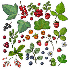 Wild berries painted color line on a white background