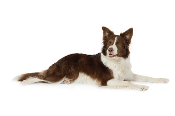 Collie border lying in front of white background