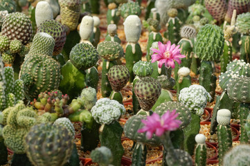 Group of modified cactus with flowers