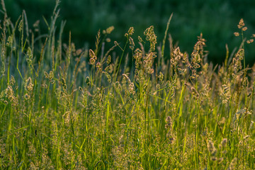 kwitnące trawy