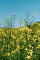 Detail of single rapeseed plant with yellow blooms in front of other plants