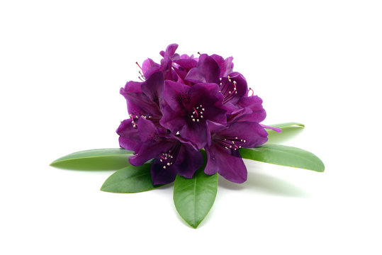 purple Rhododendron flower heads on white isolated background