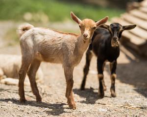 Little goats in farm