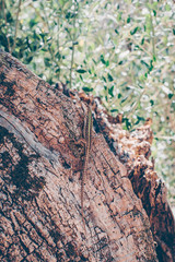 Lizard on the texture of the bark of antique olive wood. Mediterranean  olive grove