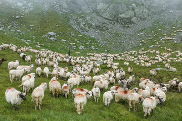 Sheep herd on summer meadows in mountains, Romania