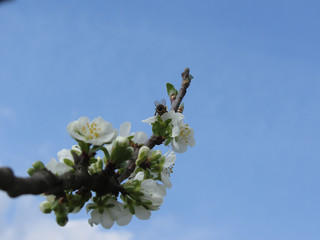 Blossoming plum against the blue sky . Bee impollinates flower . Tuscany, Italy