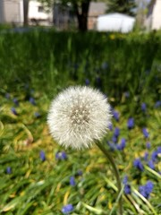 Spring Dandelion Blossom Gone to Seed in Blurred Field of Hyacinth Background