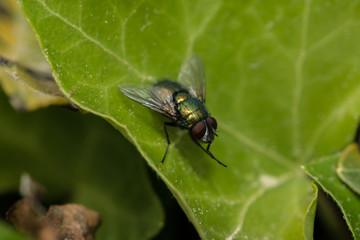 Echte Fliege sitzt auf einem Blatt
