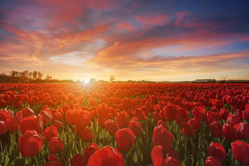 Endless white hyacinths fields at the sunset moment with a burning chaotic sky