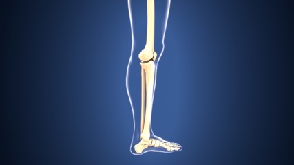 3D illustration of Tibia - Part of Human Skeleton.