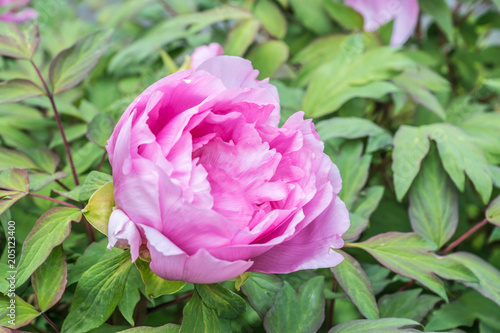 Rosa Pfingstrosen Blute Stock Photo And Royalty Free Images On