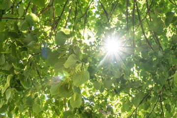 Lindenbaum von unten mit Sonnenstrahlen