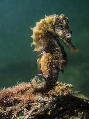 Cavalluccio con nudibranco