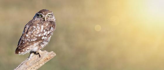 Funny animal banner - lazy owl bird looking