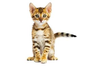 Fototapete - Bengal kitten on white background