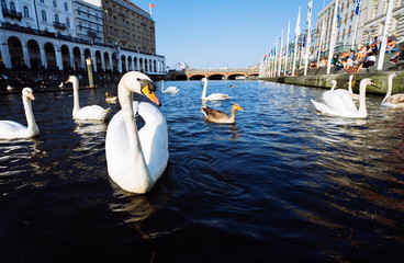 Beautiful white swans swimming on Alster river canal near city hall in Hamburg