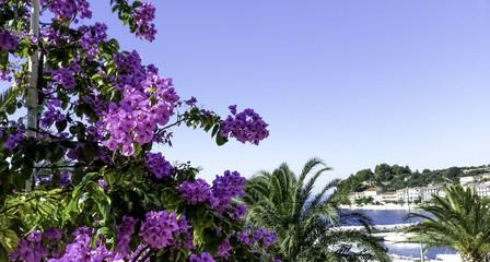 Bougainvillea Flowers with Adriatic Sea in background - Podgora, Makarska Riviera, Dalmatia, Croatia