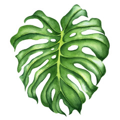 Realistic tropical botanical foliage plants. Monstera leaves. Hand painted watercolor illustration isolated on white.