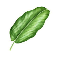 Realistic tropical botanical foliage plants. Tropical banana leaves. Hand painted watercolor illustration isolated on white.