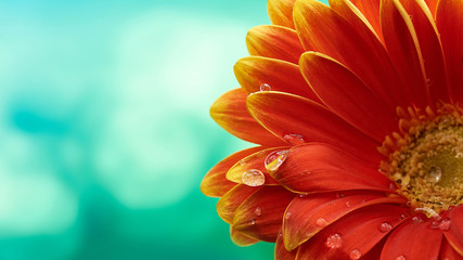 Beautiful orange flower Gerbera with water drops on turquoise abstract background. Macro photography of gerbera flower.