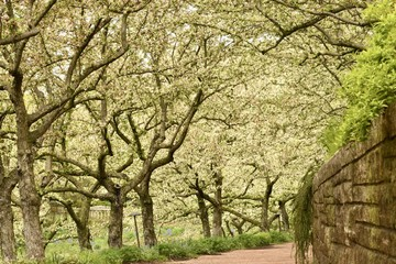 Blooming trees path