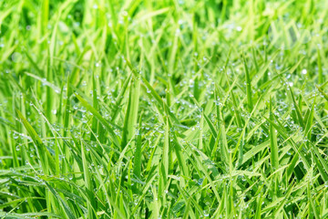 Many water drops on the weeds in the morning