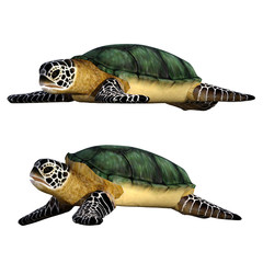 Pair of sea turtles isolated on white, 3d render.