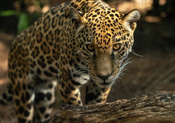 leopard has spotted you
