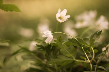 White anemone flowers blooming in spring forest