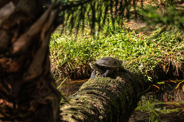 soft shell turtle sunning on a log