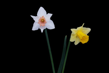 Yellow, White daffodils (narcissus) with peach colored cup on black background