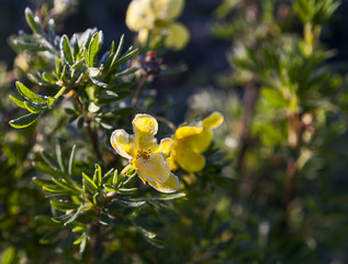 Five-leaf shrub-Pentaphylloides fruticosa